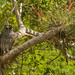 carabo norteamericano   barred owl (Strix varia)