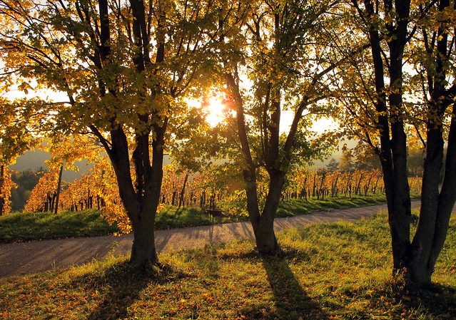Backlight in the Vineyard