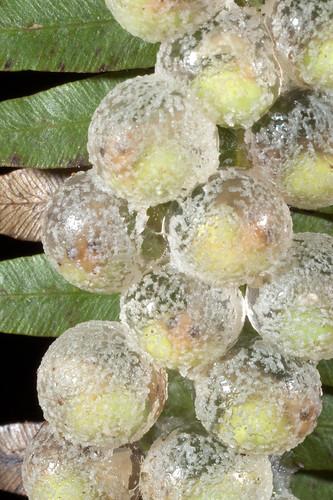 <i>Agalychnis spurrelli</i> Rana mono de Spurrell