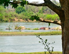 Hippos in the Shire river at Majete wildlife reserve