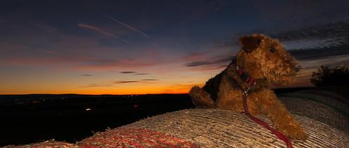 sunset dog germany deutschland sonnenuntergang hund jacky niedersachsen airedaleterrier barsinghausen barrigsen