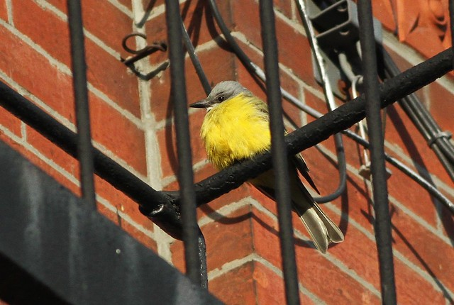 Couch's Kingbird--West Village, NYC, NY