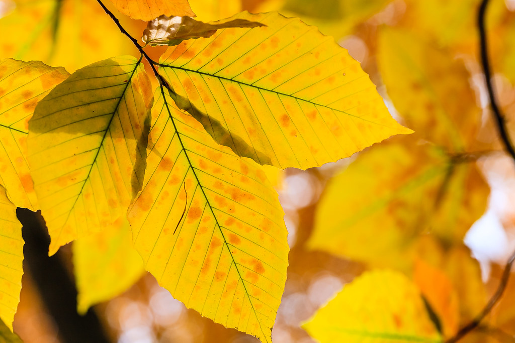 Beech leaves in autumn [Flickr]