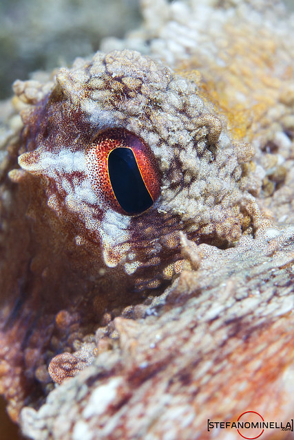 Octopus Vulgaris Eye