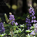 Mountain Lupine TWBF DSC_8461