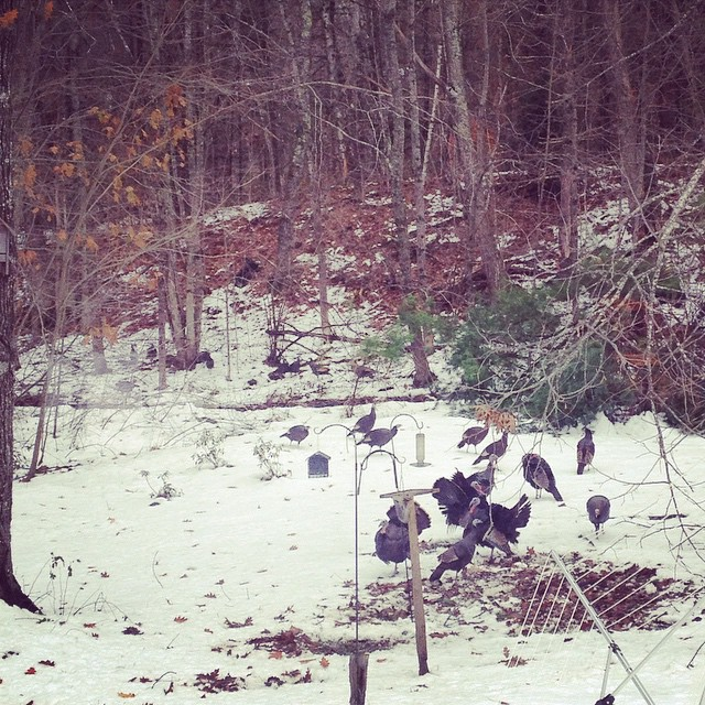 The wild turkeys have returned. #turkeygram