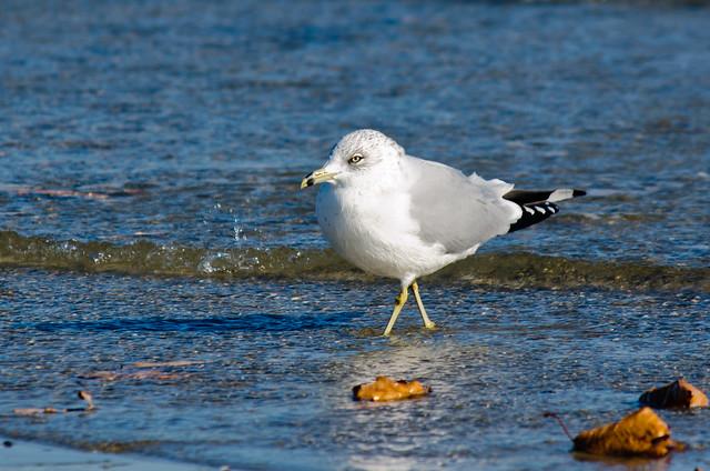 Ring-billed Gull - (Larus delawarensis)
