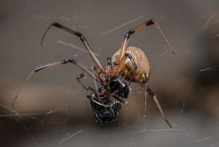 Brown Widow Eating an Ant
