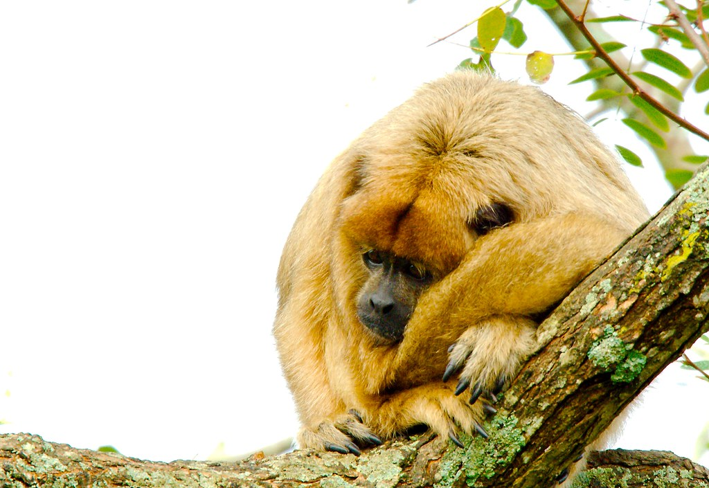 Black and Gold Howler Monkey (Alouatta caraya)_2