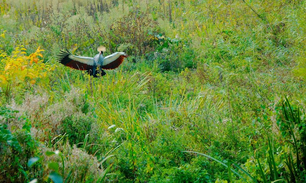 Grey Crowned Crane (Balearica regulorum)_8
