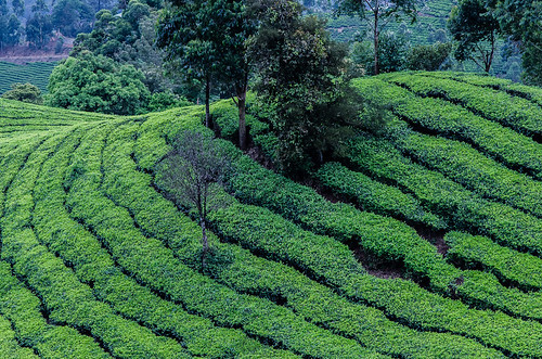 india nature tea kerala teaplantation munnar 2014