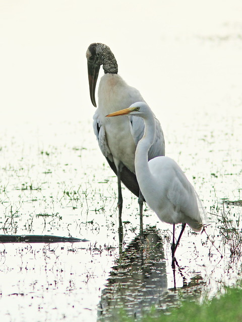 Wood Stork and Great Egret 2-20141229