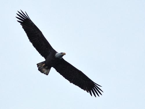 Bald Eagle female in flight 03-20141207
