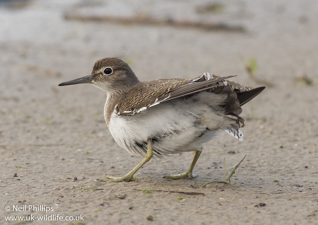 Common sandpiper 5-2