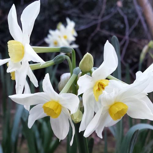 Jonquil #winter #waldorfhome #gardening #spring #harbinger