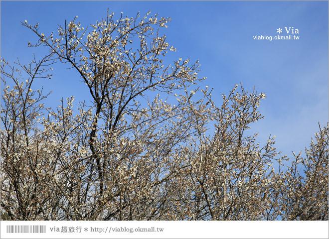 【南投梅花秘境】仁愛鄉「西伯梅園」~和互助國小梅園來個賞梅一日遊19