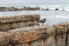 Sea Gull San Diego