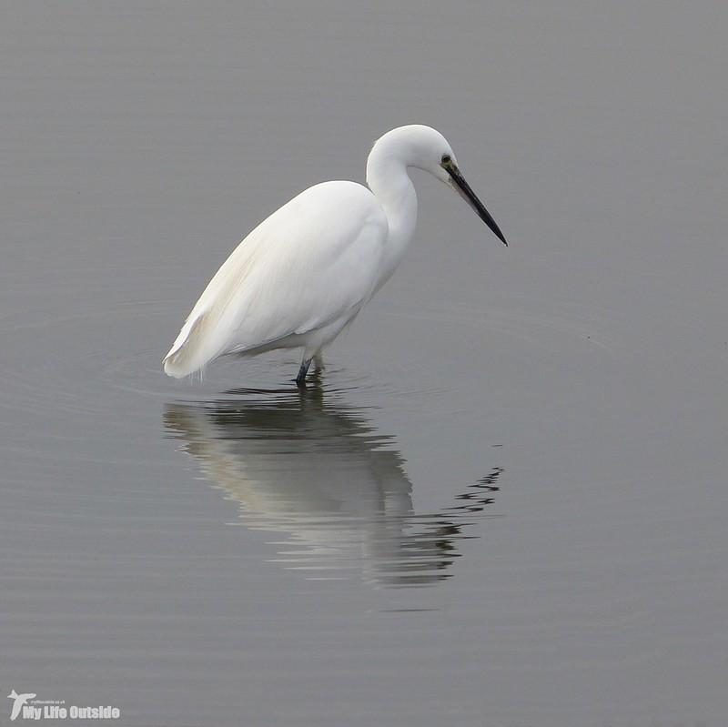 P1100636 - Little Egret, Llanelli WWT