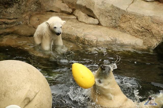 Eisbär Lili im Zoo Bremerhaven 30.04.2016 Tei 1  159