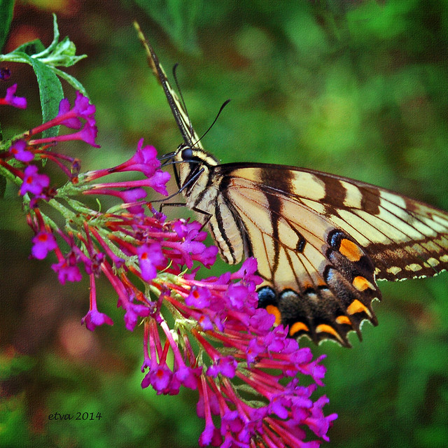 etva (Trying to catch up!) - Eastern Tiger Swallowtail