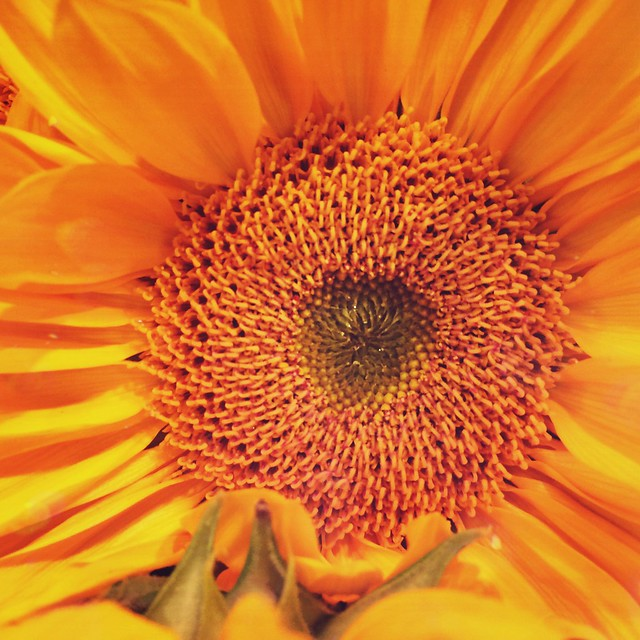 #girasol #sunflower