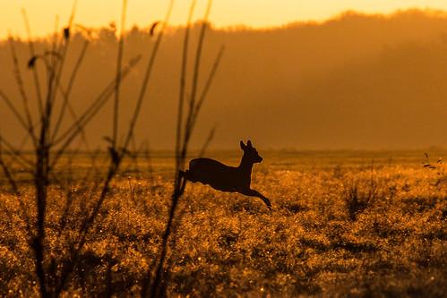 sunset deer roe goldenhour canon100400 hert ree soesterberg zonsopkomst 100400 ef100400mm canon60d