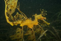 seahorse, animal, yellow, marine biology, fauna,