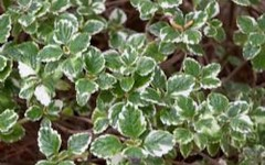 annual plant, shrub, leaf, plant, herb, groundcover,