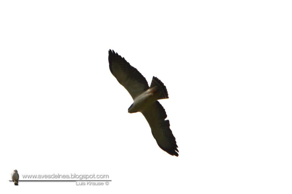 Aguilucho cola corta (Short-tailed Hawk) Buteo brachyurus