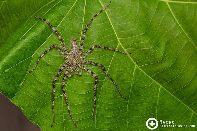 Lichen Huntsman Spider- Pandercetes sp.  ♀