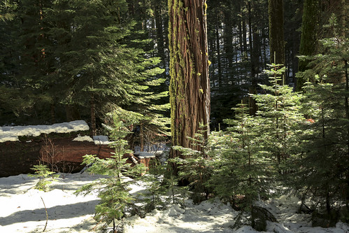 trees winter light green colorful greenery canon5d yosemitenationalpark pinetrees californialandscapes snowlandscapes californiamountainranges