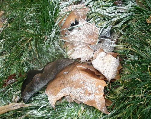 Bereifte Blätter