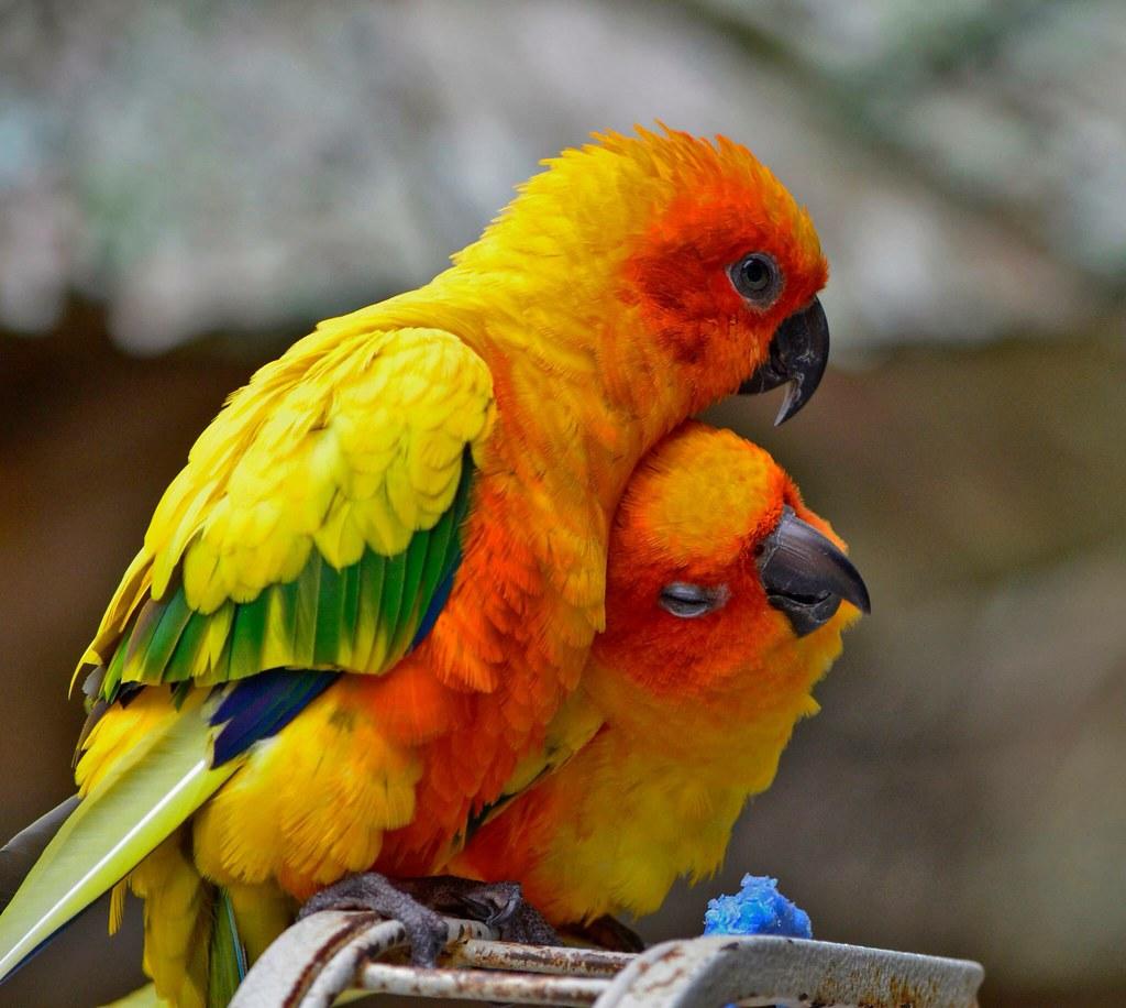 Image of: Wildlife Sun Conures sunconure conure bird parrot cute love sarasota Flickr Sun Conures sunconure conure bird parrot cute love u2026 Flickr