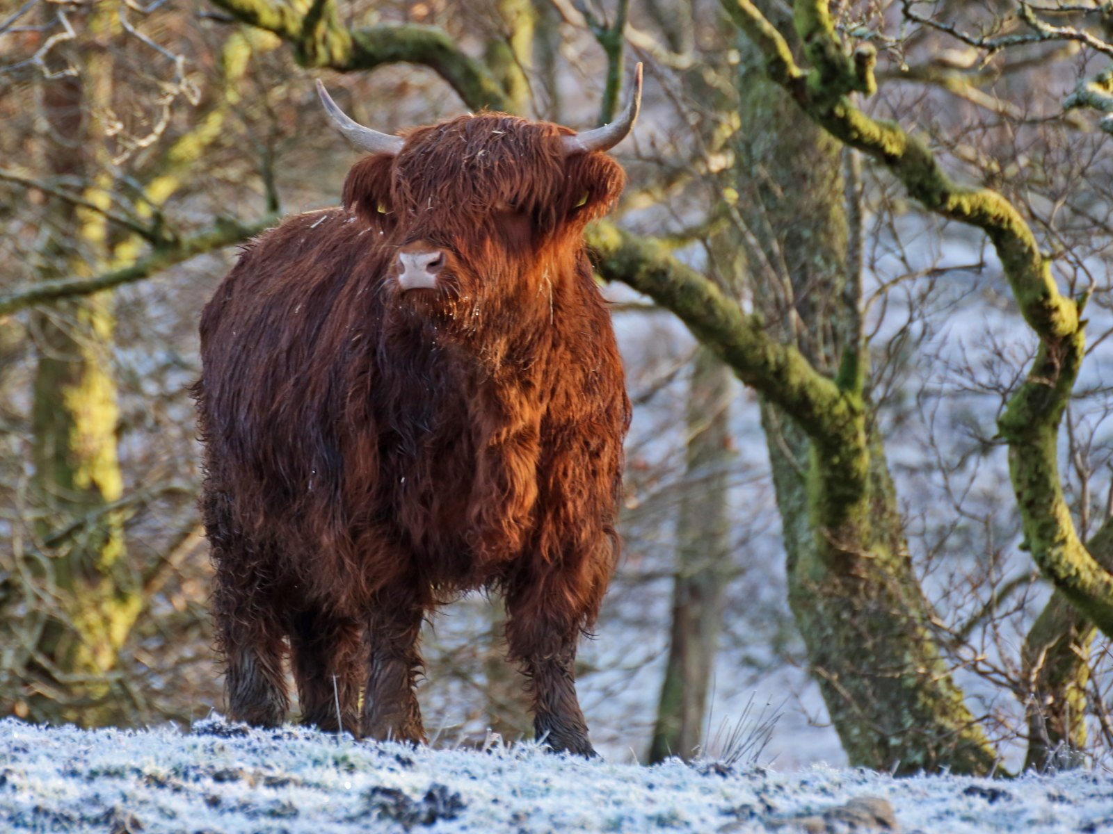 Scottish Highland Cow in the Snow | Flickr - Photo Sharing! - photo#7