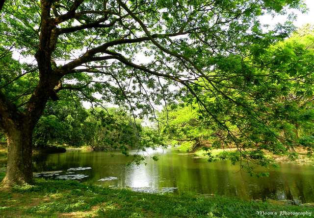 The tree by the pond - Botanical Garden, #Kolkata #BotanicalGarden #nature