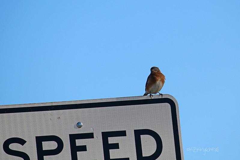 IMG_9659EasternBluebird