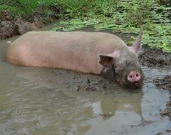 animal, domestic pig, pig, fauna, pig-like mammal, wildlife,