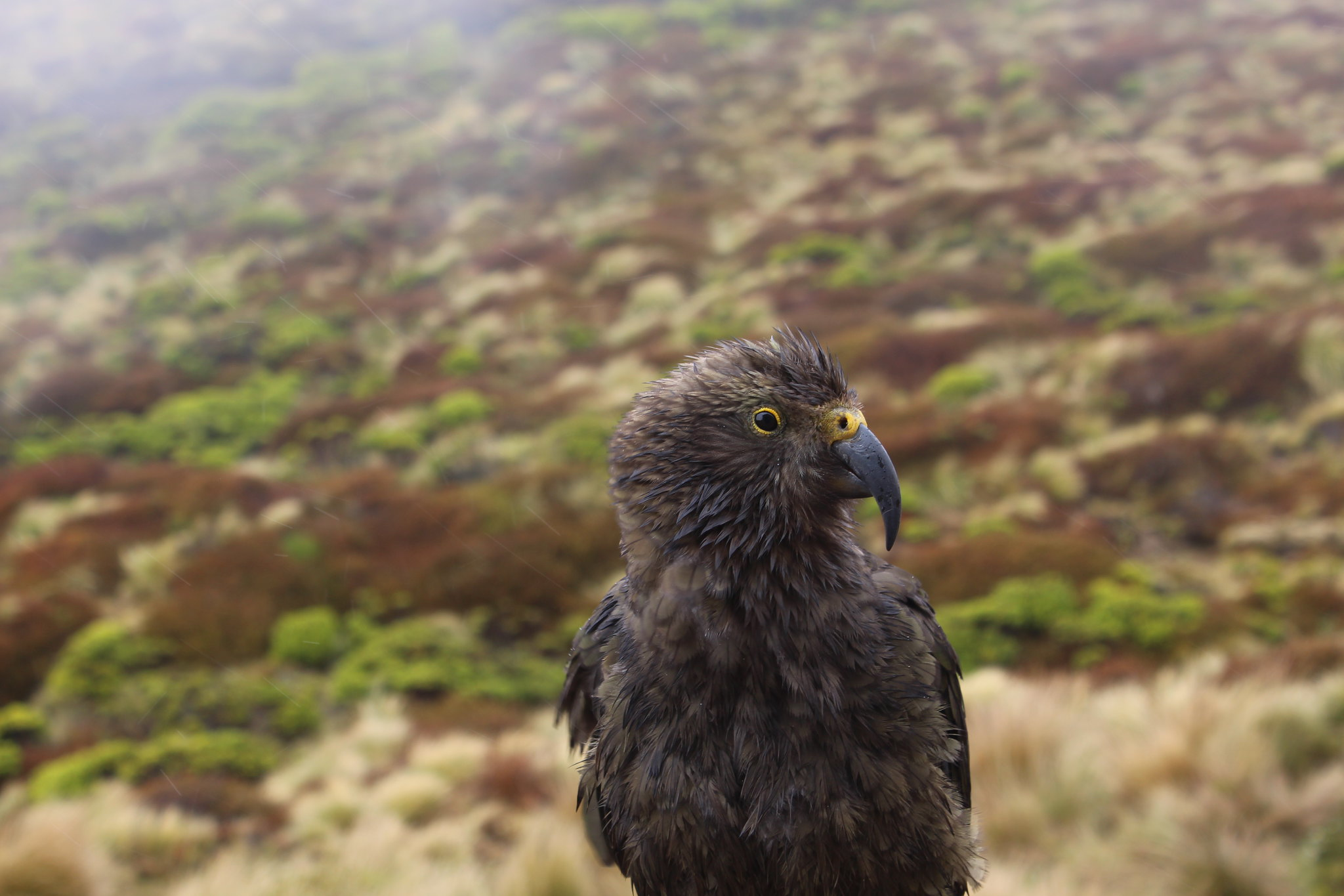 Kea at Luxmore Hut (Kepler Track, Fiordland, New Zealand)