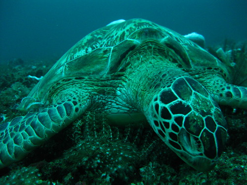 Dead Sea Turtle, Sabang, Puerto Galera