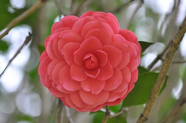 義民廟茶花 (4)