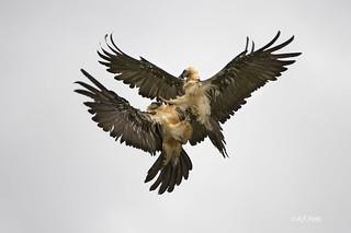 Quebrantahuesos, Crebaosos, Bearded Vulture, Gypaète barbu (Gypaetus barbatus).15
