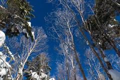 ダケカンバの樹氷が少し