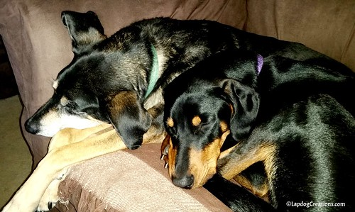 Teutul & Penny = Brother-Sister Love - Senior Coonhound Mix & Doberman Puppy Love to Snuggle #DogsCuddles #LapdogCreations ©LapdogCreations