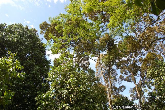 Durian Orchard Dusun