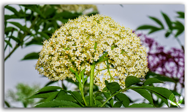 The aromatic Angelica Sylvestris (Lyall's Angelica) flower!