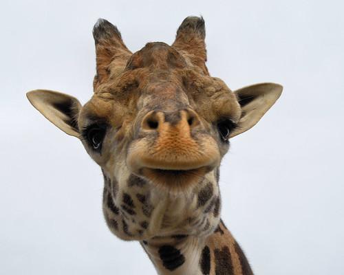 Lewis the Masai Giraffe