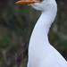 Cattle egret (Bubulcus ibis) Pásztorgém
