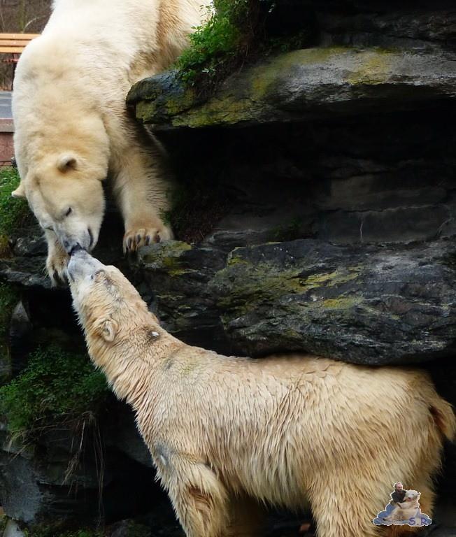 Tierpark Berlin Eisbären 20.12.2014 26