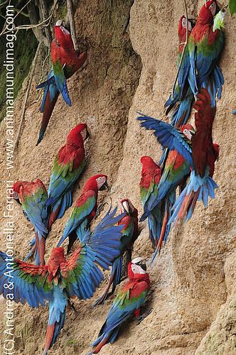 reefwondersdotnet posted a photo:Red-and-green Macaw Ara chloropterus on clay lick, Tambopata Reserve, rio Tambopata, Peru, Amazonia