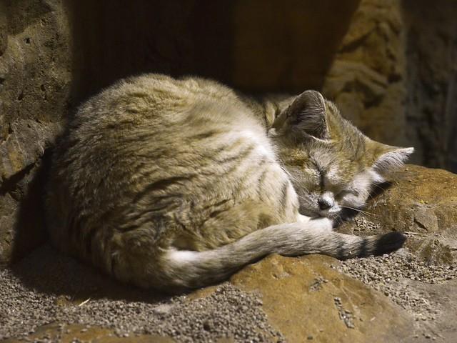 Sand Cat Nap